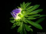 Michaelmas daisy at night