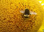 Bumble-bee on a head of sunflower